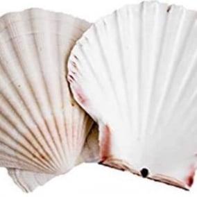 Divine Goddess Shell